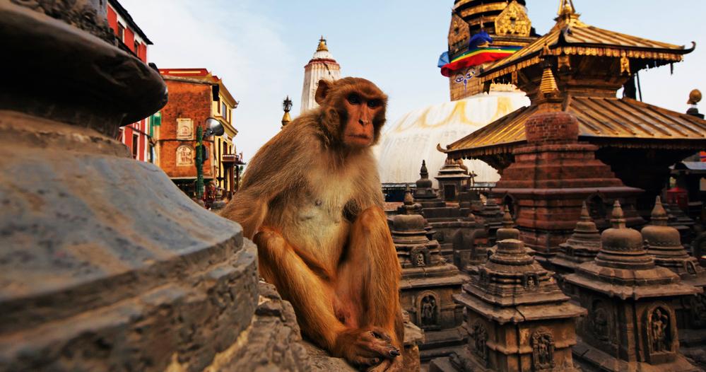 Monkey on Swayambhu